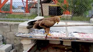 shogran bazaar eagle